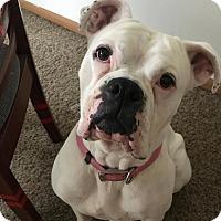 Adopt A Pet :: Bella (boxer) - Winchester, VA