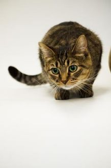 Domestic Shorthair/Domestic Shorthair Mix Cat for adoption in Dayton, Ohio - Clarabelle
