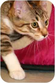 Domestic Shorthair Kitten for adoption in Walker, Michigan - Tom
