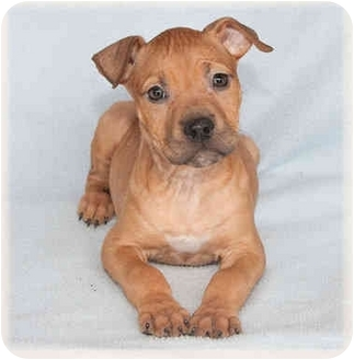 American Pit Bull Terrier Mix Puppy for adoption in Howell, Michigan - Janey