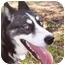 Photo 1 - Siberian Husky Dog for adoption in Upper Marlboro, Maryland - Rain