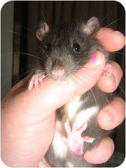 Rat for adoption in Cincinnati, Ohio - Berkley