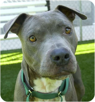 American Staffordshire Terrier Mix Dog for adoption in Sacramento, California - Celito