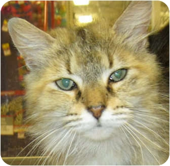 Domestic Longhair Cat for adoption in Weatherford, Texas - Betsy