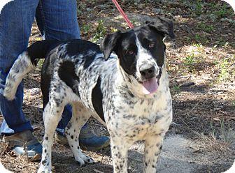 Pointer/Labrador Retriever Mix Dog for adoption in Sagaponack, New York - Annie