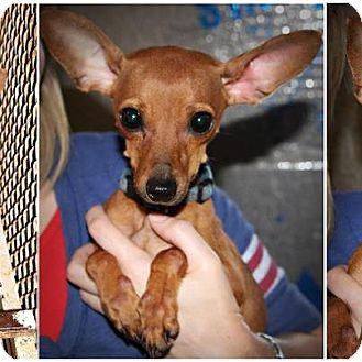 Chesapeake Bay Retriever Dog for adoption in Comanche, Texas - Bambi
