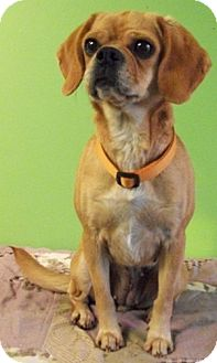 Pug/Beagle Mix Dog for adoption in Struthers, Ohio - Emma LOVES CATS