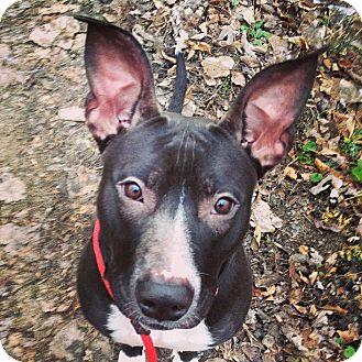 English Bulldog/Terrier (Unknown Type, Medium) Mix Dog for adoption in Marseilles, Illinois - Norah