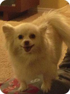 Pomeranian Mix Dog for adoption in Las Vegas, Nevada - Wonton