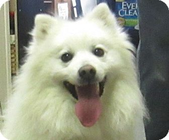 American Eskimo Dog Mix Dog for adoption in Lloydminster, Alberta - Bartok