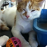 Adopt A Pet :: Creamsicle - Riverhead, NY
