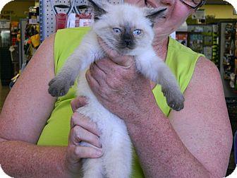 Siamese Kitten for adoption in Cincinnati, Ohio - Sumatra: 7 weeks