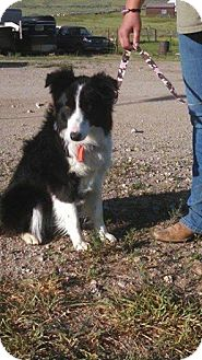 Border Collie Dog for adoption in Pinedale, Wyoming - Mesa