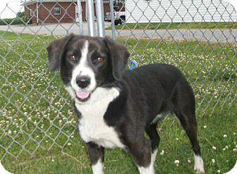 Border Collie/Beagle Mix Dog for adoption in Liberty Center, Ohio - Freedom