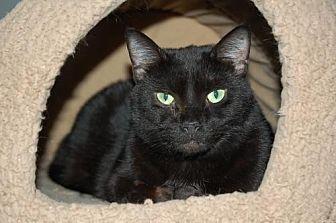 Domestic Shorthair Cat for adoption in Alpharetta, Georgia - Winnie