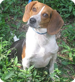 """Beagle Dog for adoption in Spring Valley, New York - Buckshot """"Why Not Me"""""""