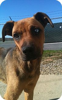 Boxer Mix Dog for adoption in Greenville, Kentucky - Max