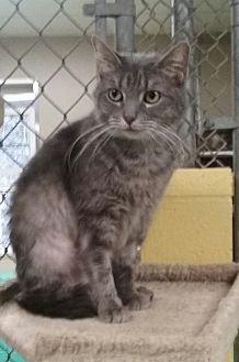 Domestic Shorthair Cat for adoption in Pottsville, Pennsylvania - Kineta