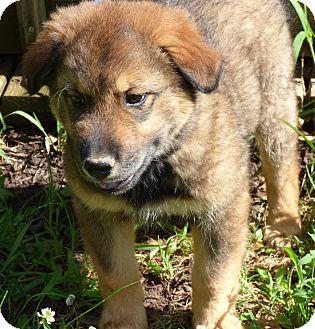Golden Retriever/German Shepherd Dog Mix Puppy for adoption in Hartford, Connecticut - Bart