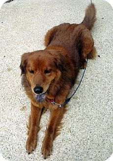 Golden Retriever Mix Dog for adoption in BIRMINGHAM, Alabama - Sabrina