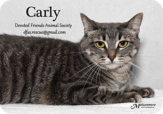 Domestic Shorthair Cat for adoption in Ortonville, Michigan - Carly
