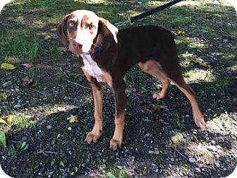 Doberman Pinscher Mix Dog for adoption in Voorhees, New Jersey - Duffy