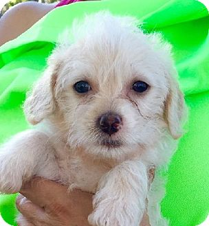 Poodle (Miniature)/Terrier (Unknown Type, Small) Mix Puppy for adoption in Irvine, California - CHARLEY