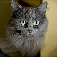 Domestic Mediumhair Cat for adoption in Pittsburgh, Pennsylvania - LIVEY