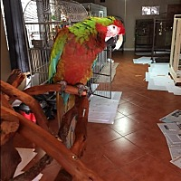 Macaw for adoption in Sylmar, California - Ozzy