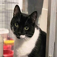 Domestic Mediumhair Cat for adoption in Hampton Bays, New York - RAMONA