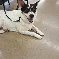 Adopt A Pet :: Pepper - Cleburne, TX