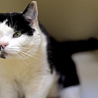Domestic Shorthair Cat for adoption in Park City, Utah - Peppy