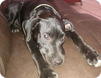 Labrador Retriever/American Staffordshire Terrier Mix Puppy for adoption in Tampa, Florida - Kaycee