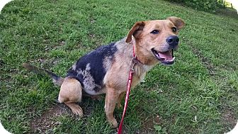 Catahoula Leopard Dog/German Shepherd Dog Mix Dog for adoption in Ashburn, Virginia - Viola