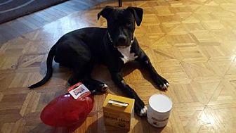 Pit Bull Terrier Mix Dog for adoption in Catasauqua, Pennsylvania - Nikita