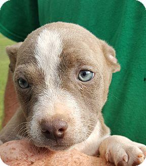 Labrador Retriever/Basset Hound Mix Puppy for adoption in Colonial Heights, Virginia - Scuba