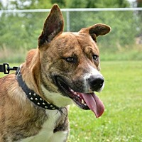 Adopt A Pet :: Boss - DuQuoin, IL