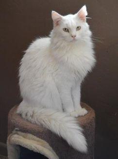 Domestic Shorthair/Domestic Shorthair Mix Cat for adoption in Tucson, Arizona - Rollie