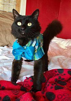 Domestic Shorthair Cat for adoption in Shakopee, Minnesota - Jermaine C1858