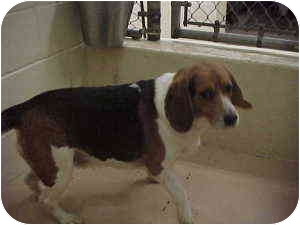 Beagle Dog for adoption in Gladwin, Michigan - Lightning