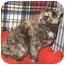 Photo 1 - Domestic Shorthair Kitten for adoption in Colmar, Pennsylvania - Crisbelle