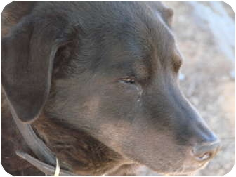 Labrador Retriever/German Shepherd Dog Mix Dog for adoption in Chandler, Arizona - Cole