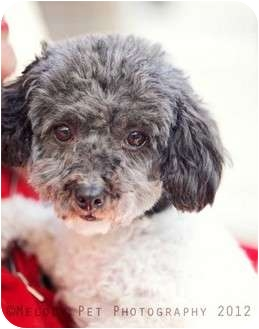 Poodle (Miniature) Dog for adoption in Mt Gretna, Pennsylvania - Kid Rock