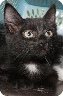 Domestic Mediumhair Kitten for adoption in Schertz, Texas - Kendyll