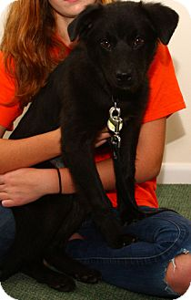 Flat-Coated Retriever Mix Puppy for adoption in Mt. Prospect, Illinois - Collette