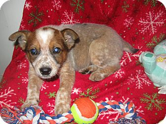 Australian Shepherd/Australian Cattle Dog Mix Puppy for adoption in Wauseon, Ohio - Seth