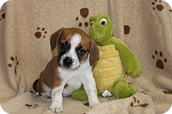 Beagle Mix Puppy for adoption in Salem, New Hampshire - Chief Wild Eagle