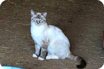 Siamese Cat for adoption in Muldrow, Oklahoma - Kasmira