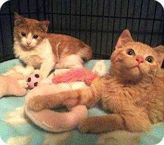 Domestic Shorthair Kitten for adoption in Chicago, Illinois - Topo and Gigio
