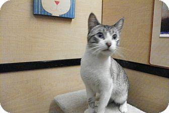 Siamese Cat for adoption in Riverside, California - Merlin